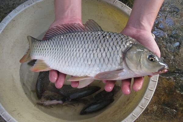 Sơ chế cá chép sạch trước khi chế biến món ăn cho mẹ sau chuyển phôi